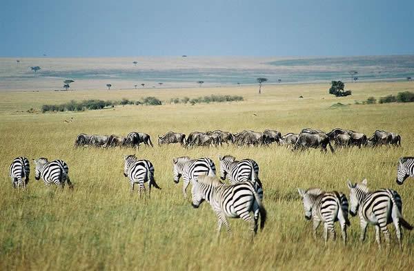 Gnus and Zebra